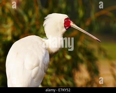 Spoonbill in a forest perched in a tree - Stock Photo