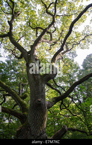 Old mighty oak tree in a green forest - Stock Photo