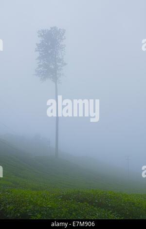 Stock Image - A Tree in between Mist in tea farm - Stock Photo