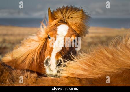 Brown Icelandic horse (Equus ferus caballus) frontal view with manes. - Stock Photo