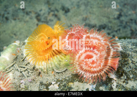 calcareous tubeworm, serpulid tubeworm, fanworm, or plume worm (Serpula columbiana) Sea of Japan, East sea - Stock Photo