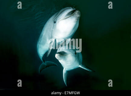 Two Common bottlenose dolphins or Atlantic bottlenose dolphin (Tursiops truncates) Sea of Japan, Far East, Primorsky - Stock Photo