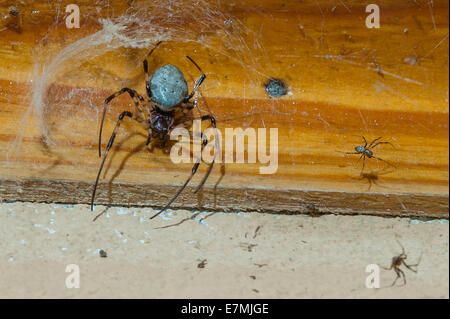 A Golden Orb spider in Madagascar - Stock Photo