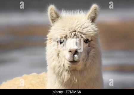 Chile, El Norte Grande, Region de Arica y Parinacota, Lauca National Park, llama (Lama glama) - Stock Photo