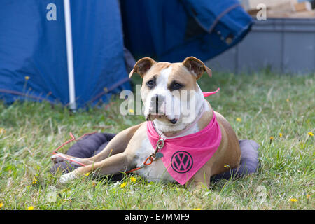 crossbred dog Molly with a Pink Volkswagen Neckerchief Laying on a Dog bed on a campsite - Stock Photo