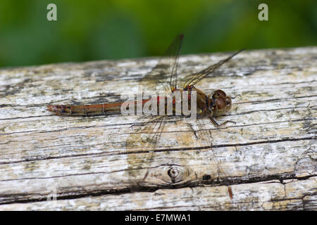 Female common darter dragonfly, Sympetrum striolatum, at rest on a weathered fence rail - Stock Photo