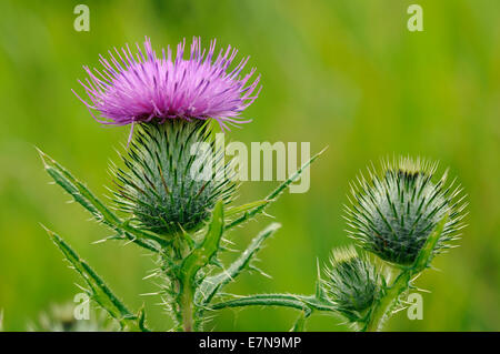 Spear Thistle - Cirsium vulgare Flower and Buds - Stock Photo