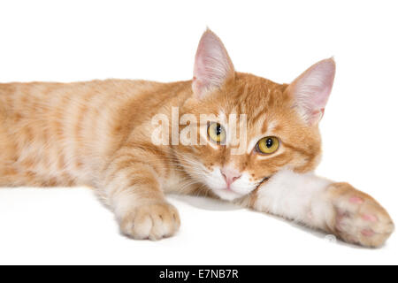 Red tabby cat isolated on white background Stock Photo