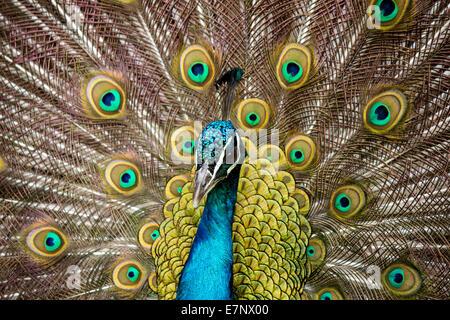 Animal, Bird, Indian peafowl, Blue, male, Phasianidae, Galliformes, Pavo cristatus, Switzerland - Stock Photo