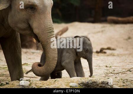 Animals, elephants, young, elephant, zoo Zurich, animals, animal, canton Zurich, zoo, Switzerland, Europe,