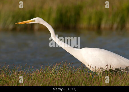 Great white Heron, Great white Egret, egretta alba, bird, water, ardea alba, camargue, - Stock Photo