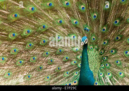 Indian Peafowl, Blue Peafowl, Pavo cristatus, peacock, bird, - Stock Photo
