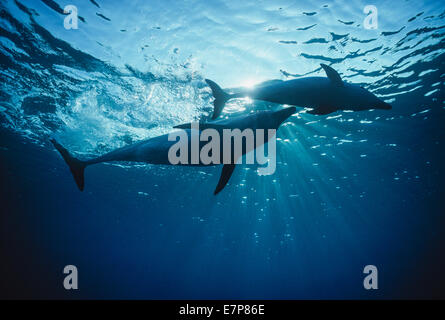Wild bottlenose dolphins (Tursiops truncatus) mother and calf.  Nuweiba, Egypt, Red Sea - Stock Photo