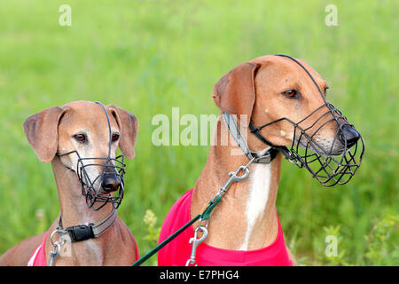 Portrait of two Sighthound Azawakh on a green background - Stock Photo