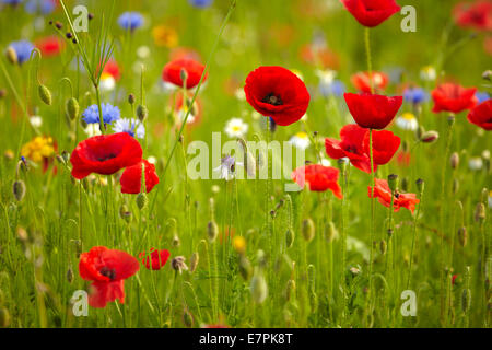 Poppies, cornflowers and other wild flowers. - Stock Photo