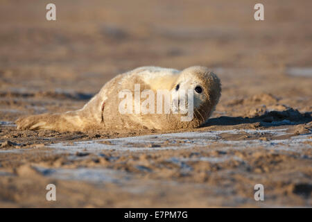 Grey Gray Seal Pup  Halichoerus grypus   lying on sand at low tide at Donna Nook, Lincolnshire, England - Stock Photo