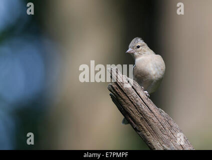 Female Common chaffinch (Fringilla coelebs) - Stock Photo