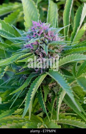 Cannabis Sativa 'Skunk'  flowering plant. - Stock Photo