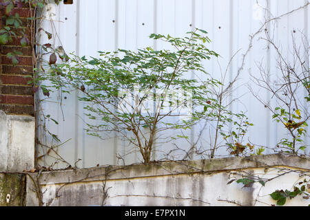 Small shrub growing on an old building (Peters Cartridge Factory new Mills, Ohio) - Stock Photo