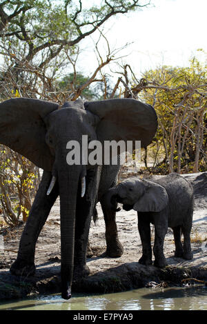 African elephants, the largest living land mammal in the world. Ears flapping mum & baby drinking from a water hole, - Stock Photo