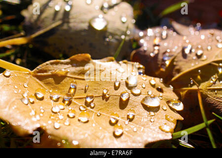 Yellow cottonwood leaves with morning dew near Engenhahn in the Taunus mountains, Hesse, Germany - Stock Photo