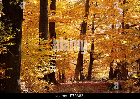 Autumnal beech forest near Engenhahn in the Taunus mountains, Hesse, Germany - Stock Photo