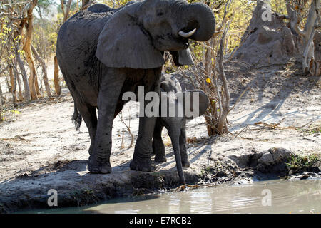 African elephants, the largest living land mammal in the world. Mum with a tiny baby drinking using trunks from - Stock Photo