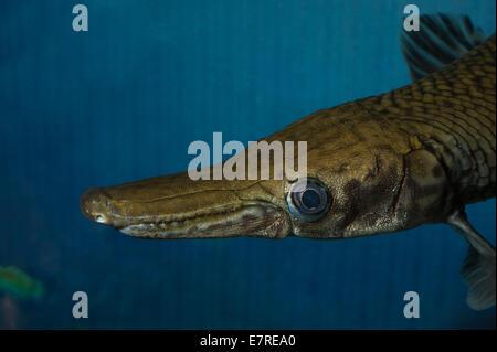 Spotted gar (Lepisosteus oculatus), a primitive freshwater fish, Lepisosteidae, North America fishes Roberto Nistri - Stock Photo