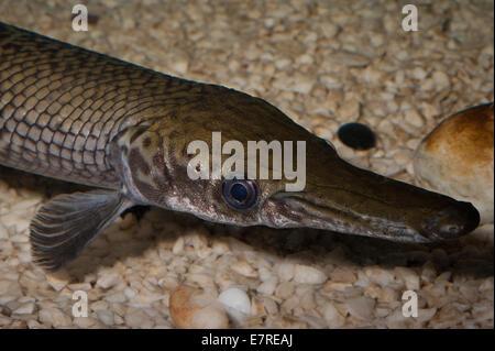 Spotted gar lepisosteus oculatus freshwater fish stock for Freshwater gar fish