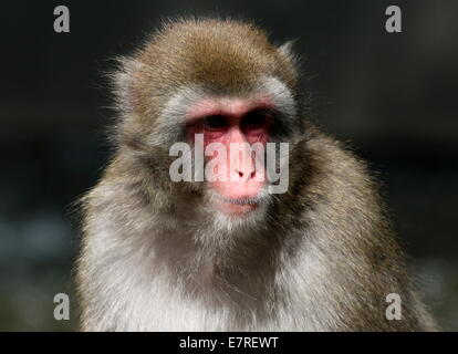 Japanese macaque or Snow monkey (Macaca fuscata) close-up - Stock Photo
