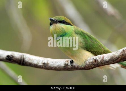 Green Bee-eater (Merops Orientalis) on a Branch, Bundala National Park, Sri Lanka - Stock Photo