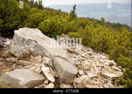 Pinus mugo and stones  at track in Babia Gora National Park - Stock Photo
