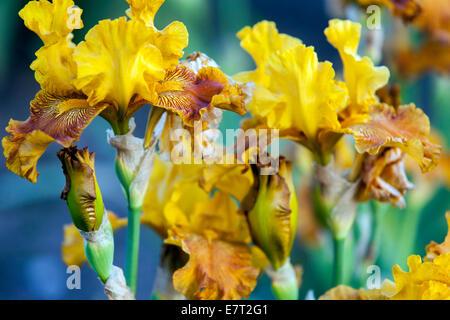 Iris flower yellow, Iris germanica, Bearded iris or the German iris - Stock Photo