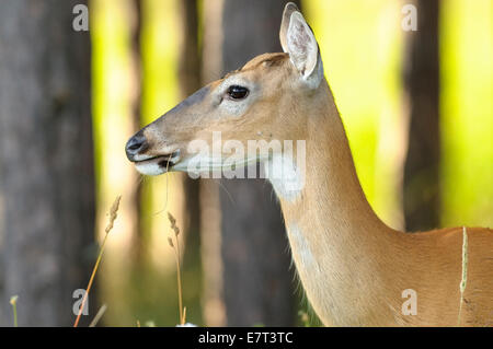White tailed deer odocoileus virginianus, female, Canaan Valley National Wildlife Refuge, Canaan Valley, West Virginia - Stock Photo