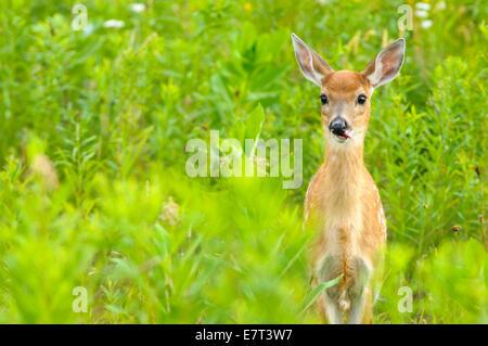 White tailed deer odocoileus virginianus, fawn, Canaan Valley National Wildlife Refuge, Canaan Valley, West Virginia - Stock Photo