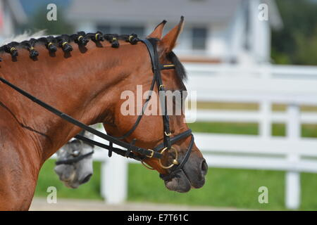 Brown Arabian Stallion - Stock Photo