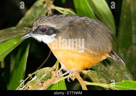 Unidentified bird roosting in the rainforest understory at night, Ecuador. - Stock Photo