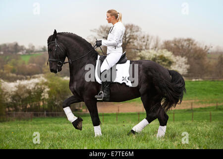 Friesian or Frisian horse, stallion with a female rider on horseback, on a meadow, classical dressage, piaffe on - Stock Photo