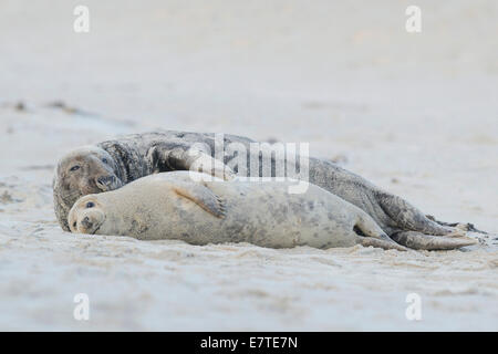 Grey Seals (Halichoerus grypus), bull and cow, Heligoland Düne, Schleswig-Holstein, Germany - Stock Photo