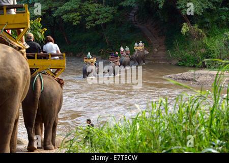 Elephant trekking with Asian or Asiatic Elephants (Elephas maximus) at Mae Tang River, Maetaman Elephant Camp - Stock Photo