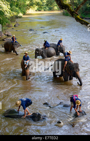 Mahouts bathing their Asian or Asiatic Elephants (Elephas maximus) in the Mae Tang River, Maetaman Elephant Camp - Stock Photo