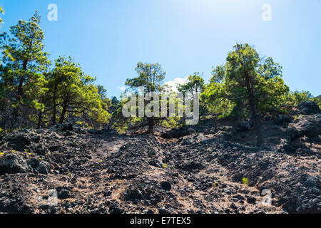 Lava-covered slope overgrown with a pine forest, Garachico, Tenerife, Canary Islands, Spain - Stock Photo