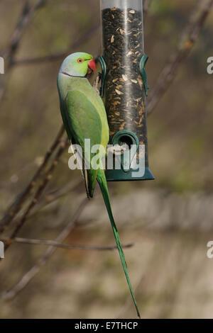 Ring-necked Parakeet on Bird Feeder in Garden - Stock Photo
