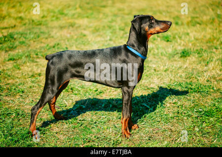 Young, Beautiful, Black And Tan Doberman Standing On The Lawn. Dobermann Is A Breed Known For Being Intelligent, - Stock Photo