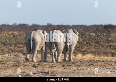 African Elephants(Loxodonta Africana) three bulls walking walking back into the bush, Etosha National Park, Namibia