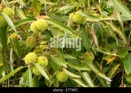 Ripe seeds fruit of Sweet chestnut tree on leaf covered branch opening up ready for seed and case to be shed to - Stock Photo