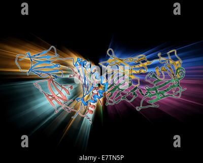 T cell receptor antigen complex. Molecular model of the alphabeta T cell receptor bound to the influenza haemagglutinin - Stock Photo