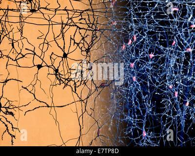 Neuron network in the human brain, computer artwork. - Stock Photo