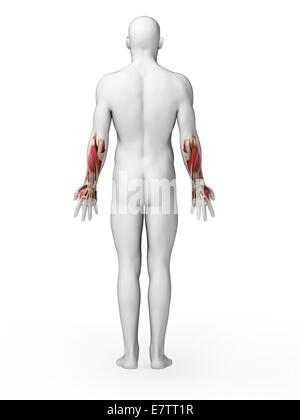 Muscles of the lower arm Stock Photo: 13228817 - Alamy
