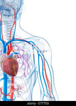 Human vascular system of the shoulder, computer illustration Stock ...